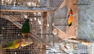 Cerita Pendek Tentang Burung Lovebird - Pelajaran hidup dari hewan peliharaan Burung Lovebird. Salah satu Teori pikiran Burung Love Bird dalam mendidik anaknya agar mandiri. Ajaran mandiri yang di berikan sang induk lovebird adalah agar anak lovebird belajar makan sendiri untuk bekal hidup berkembang di kemudian hari.