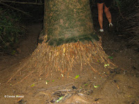 Trunk base, Maunawili Falls Trail - Oahu, HI