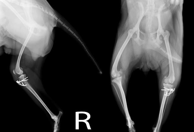 luxación rótula grado IV en perro