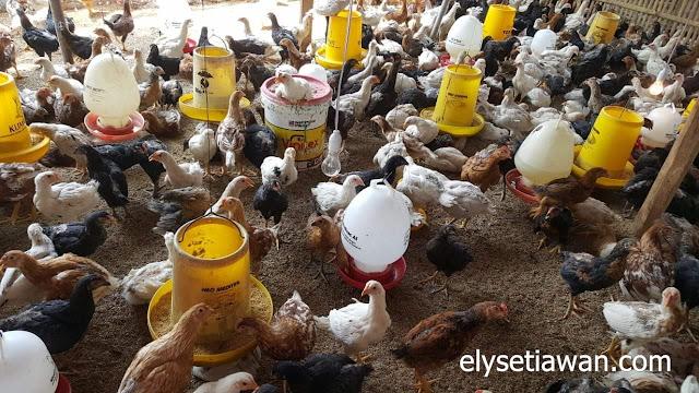 gambar ayam kemitraan