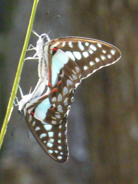 Graphium eurypylus nyctimus, Great Jay Butterflies, Butterfly, Darwin, Northern Territory, NT, Australia, David Norton