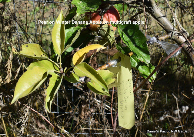 Graft of pear on Winter Banana intergraft
