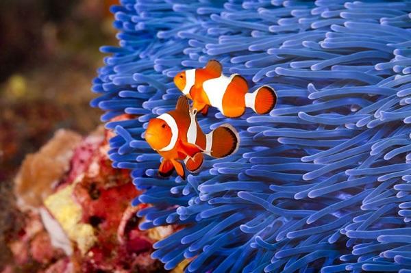 Nemo phiên bản đời thực tại S.E.A Aquarium