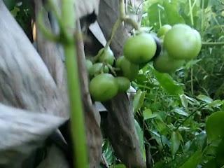 gambar buah lakum, galing galing, anggur kalimantan, Cayratia trifolia