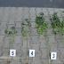 Pronađeno sedam stabljika kanabisa