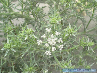 Panais porte épines - Échinophore épineuse - Panais épineux - Echinophora spinosa