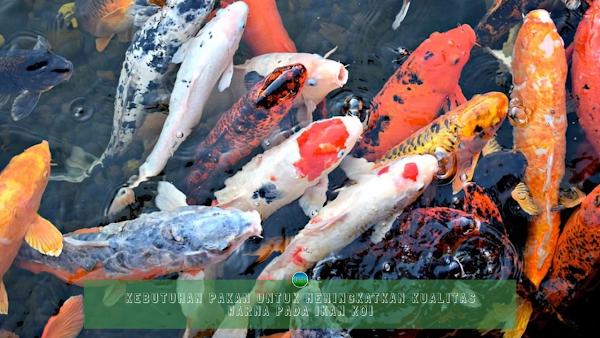 Kebutuhan Pakan Untuk Meningkatkan Kualitas Warna Pada Ikan Koi