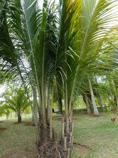 Beccariophoenix madagascariensis - Beccariophoénix de Madagascar