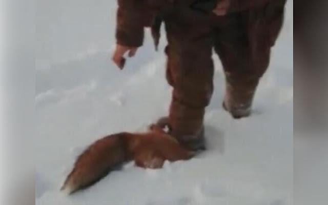 Живодёры из Якутии переехали лису на тракторе, а затем задушили веревкой! Видео!