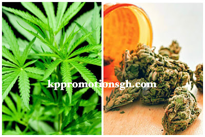 Ghana Finally Legalized Cannibis For Health And Industrial Purposes (Read Full Details)