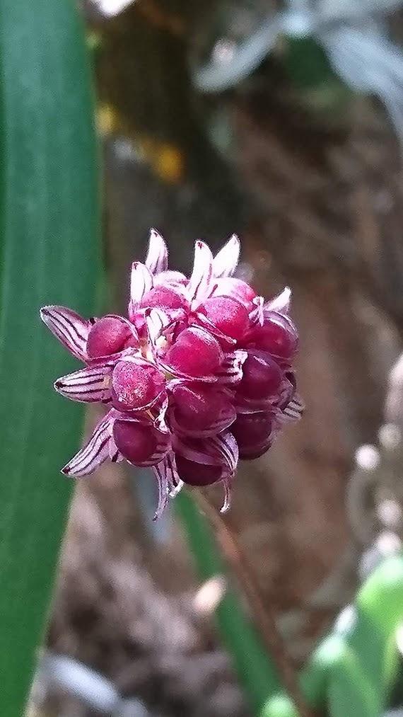 Bulbophyllum apiferum