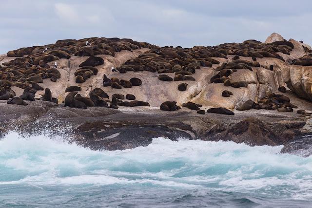 Leones marinos en Duiker Island, Península del Cabo, Sudáfrica