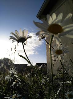 daisies, Moycullen