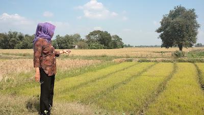500 Hektar sawah Di Kecamatan Gabuswetan Kekeringan, Ini Harapan Kuwu Desa Rancahan
