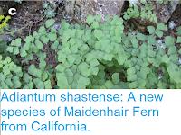 https://sciencythoughts.blogspot.com/2015/08/adiantum-shastense-new-species-of.html