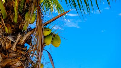 Bonsai-kelapa-yang-unik