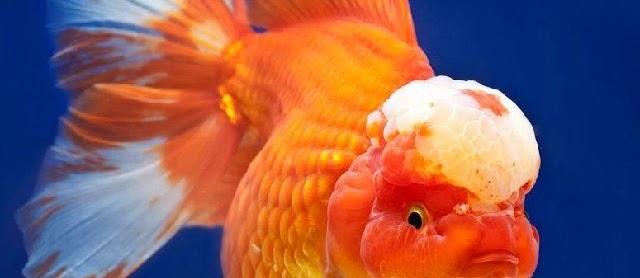 Gambar Ikan Mas Koki untuk Kontes dan Hiasan Akuarium Unik dan Cantik