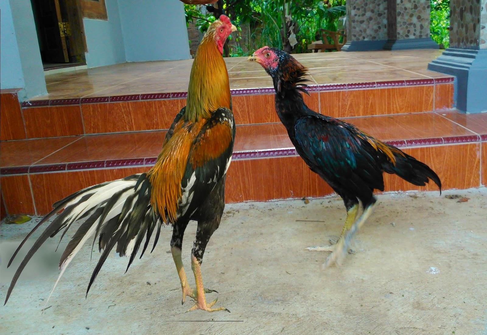 Kampung Ayam Ayam Kampung Asli