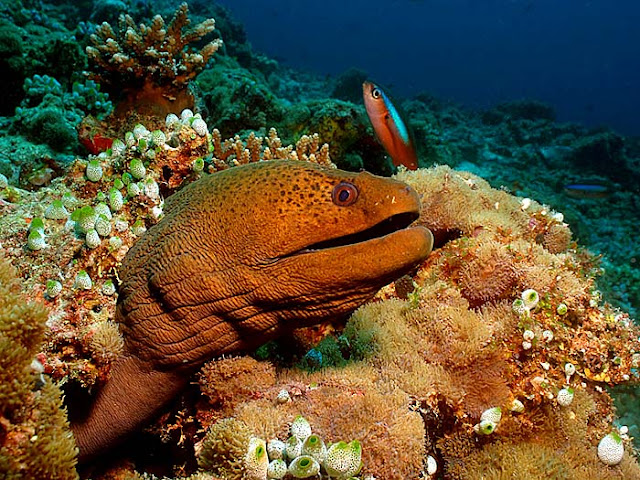 What is Moray Eel? Facts and Information 3