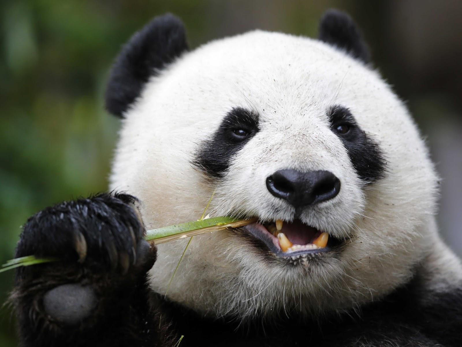 """نتيجة بحث الصور عن الدب باندا"""""""