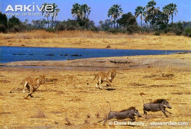 Warthog and lions
