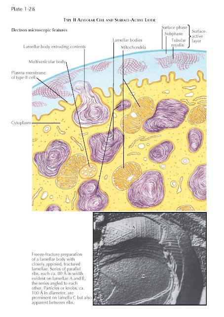 TYPE II ALVEOLAR CELL AND SURFACE-ACTIVE LAYER
