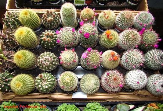 Image result for cara merawat kaktus agar berbunga