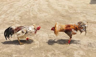 Sabung Ayam Online S128 Live