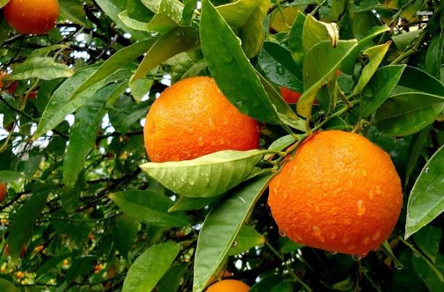 Αργολίδα: Μέχρι 36 λεπτά στον παραγωγό ξεκίνησαν οι εξαγωγές για το πορτοκάλι