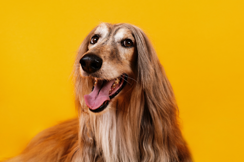 A dog with long fur against a yellow background