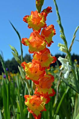 Gladiolus: How to Plant, Grow, and Care for Gladiolus | Tree Homes