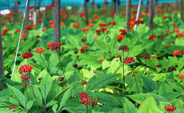 research benefits panax ginseng efficacy