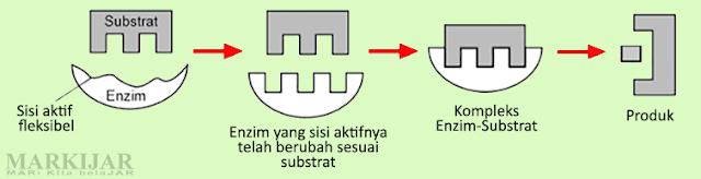 Induced Fit Theory (Teori Ketepatan Induksi)