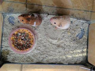 Cara Mengawinkan Hamster Syrian