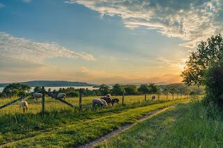 cattle eating grass in fields