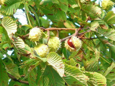 Pohon Kacang Kastanye