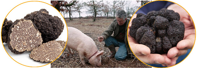 Pict: People put the highly sensitive noses of pigs to use to help them locate buried truffles.