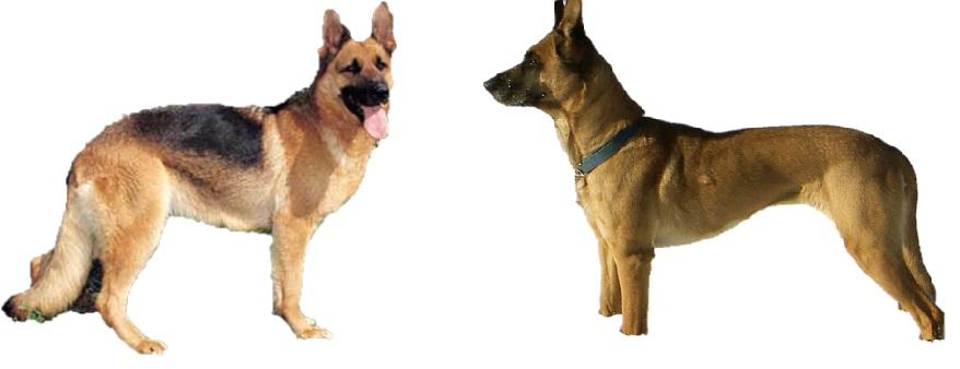 Serupa Tapi Tak Sama Perbedaan Anjing Malinois Belgian Dengan Shepherd German