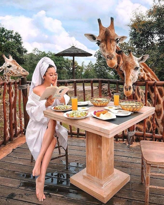 Serunya Memberi Makan Jerapah di Baobab Safari Resort, Pasuruan Jawa Timur