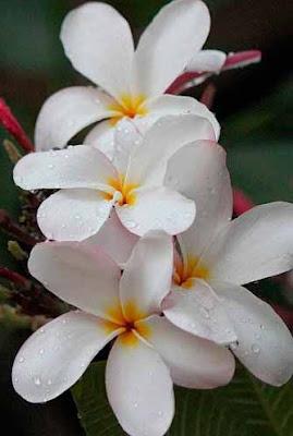 صورة ورد جميل مع قطرات وحبات المطر