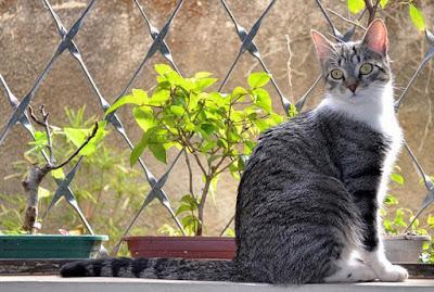 Asal Usul Kucing Brazilian Shorthair