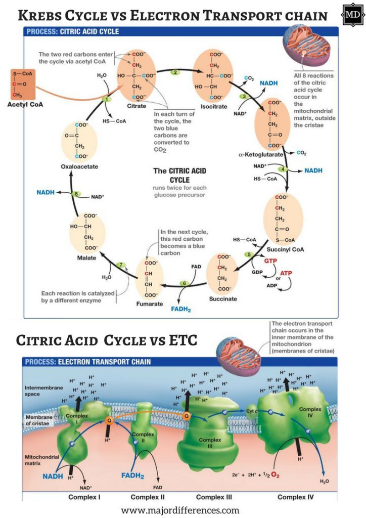Difference between Krebs cycle and Electron Transport Chain (Citric acid vs ETC)