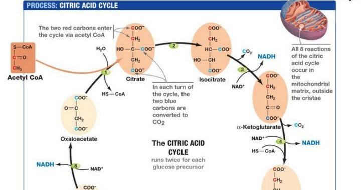 Citric Acid Cycle Electron Transport Chain Diagram Auto Electrical
