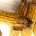 Fumonisin not expected to be major yearly problem for corn producers
