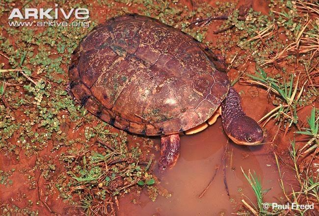 american turtles