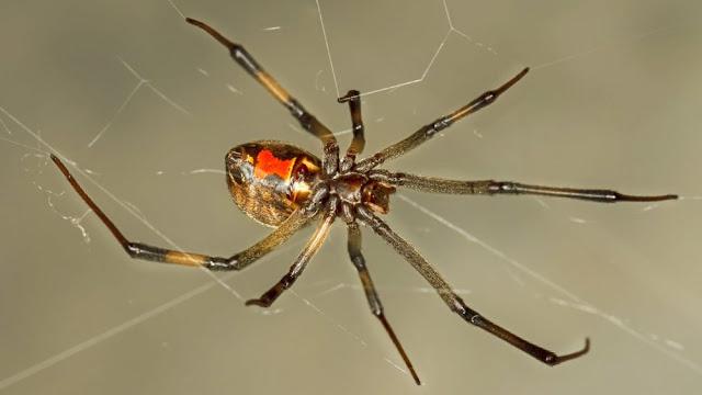 Brown Widow Spiders