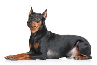 Everything about your German Pinscher
