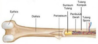 tulang pipa