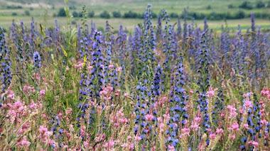 Viajes muy botánicos: combinaciones de plantas silvestres en Kirguistán (Kyrgyzstan)