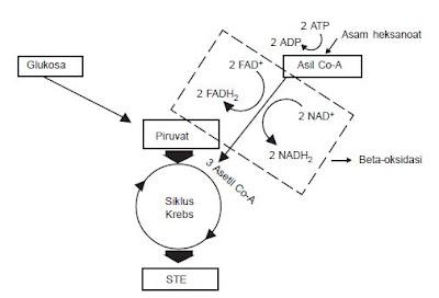Jalur beta-oksidasi asam lemak